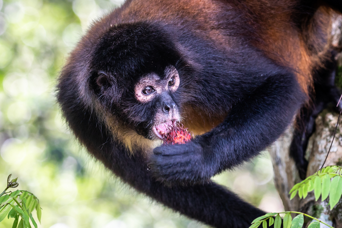 Spider monkey eating a fruit