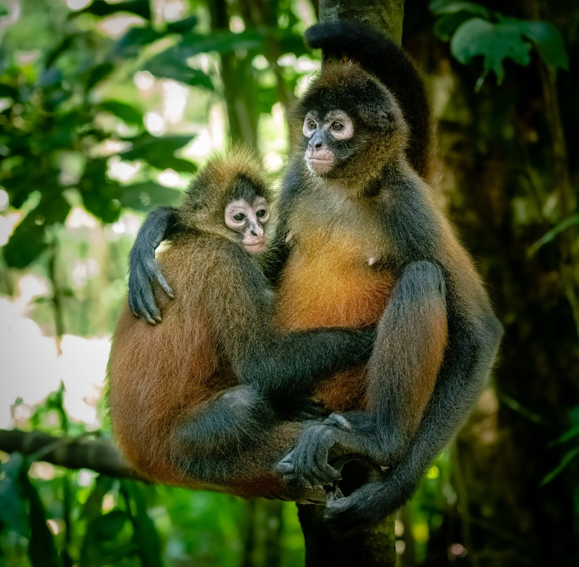 A spider monkey sitting with her arm around her daughter