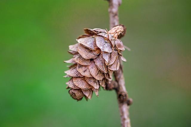 pine-cones-773482 640