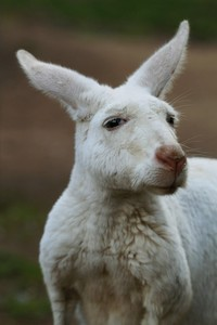 white-kangaroo