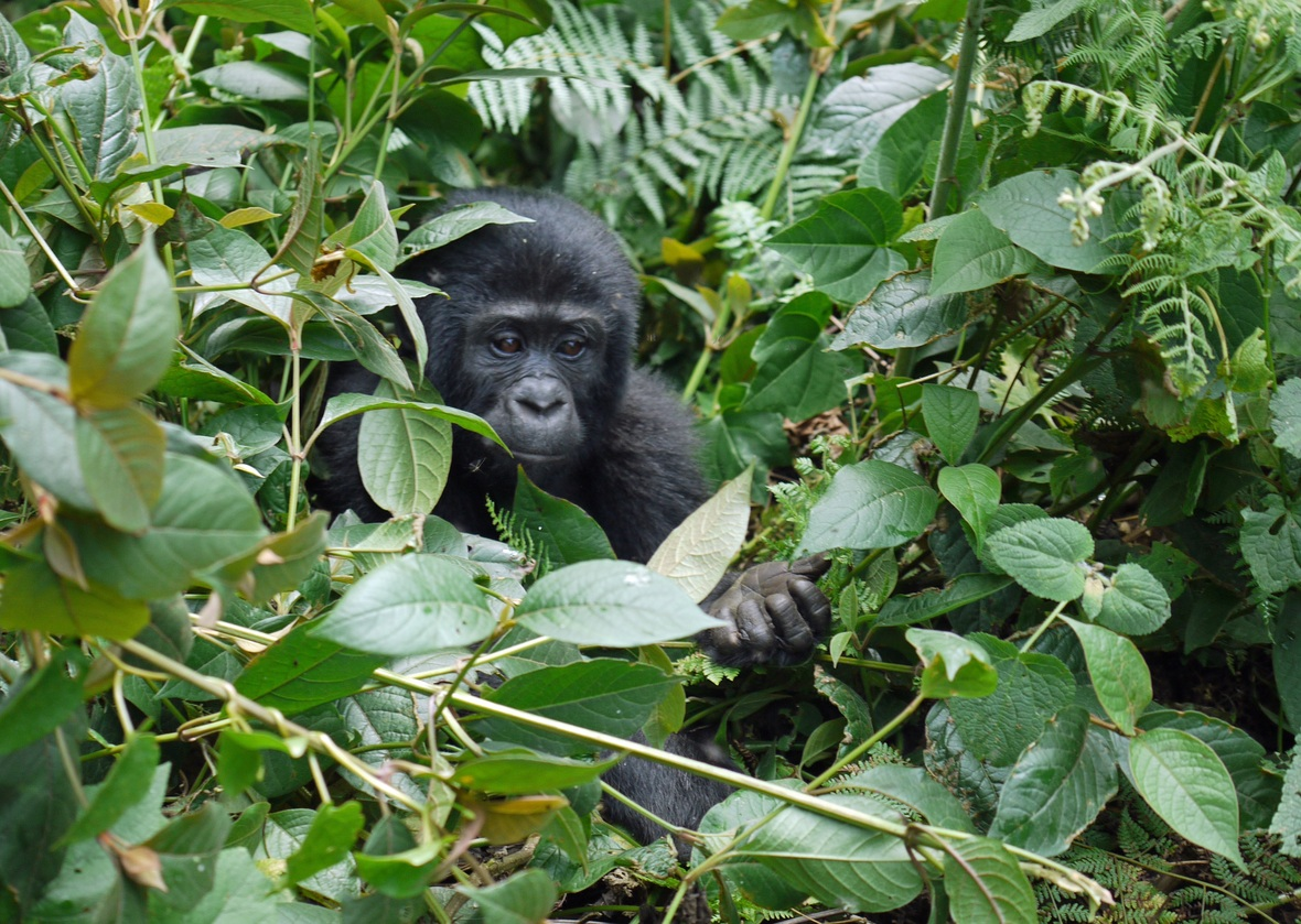 gorilla-1386501