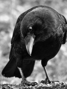 curious-crow