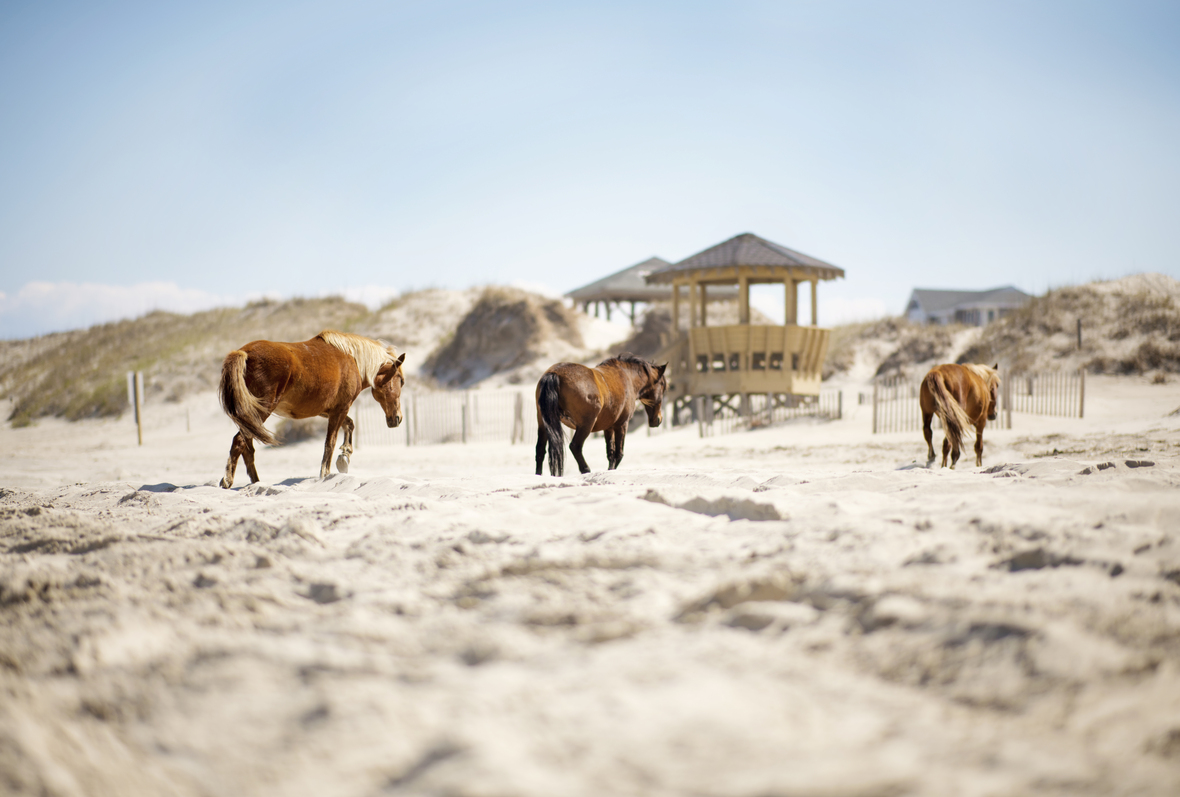 The Chasing Frames Show with Tamara Lackey Episode 07- The Wild Horses of Corolla, photograph by Tamara Lackey