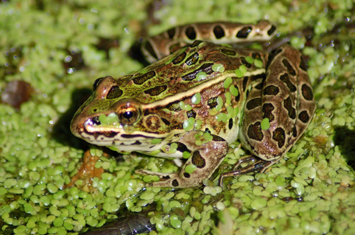 frog in wetland