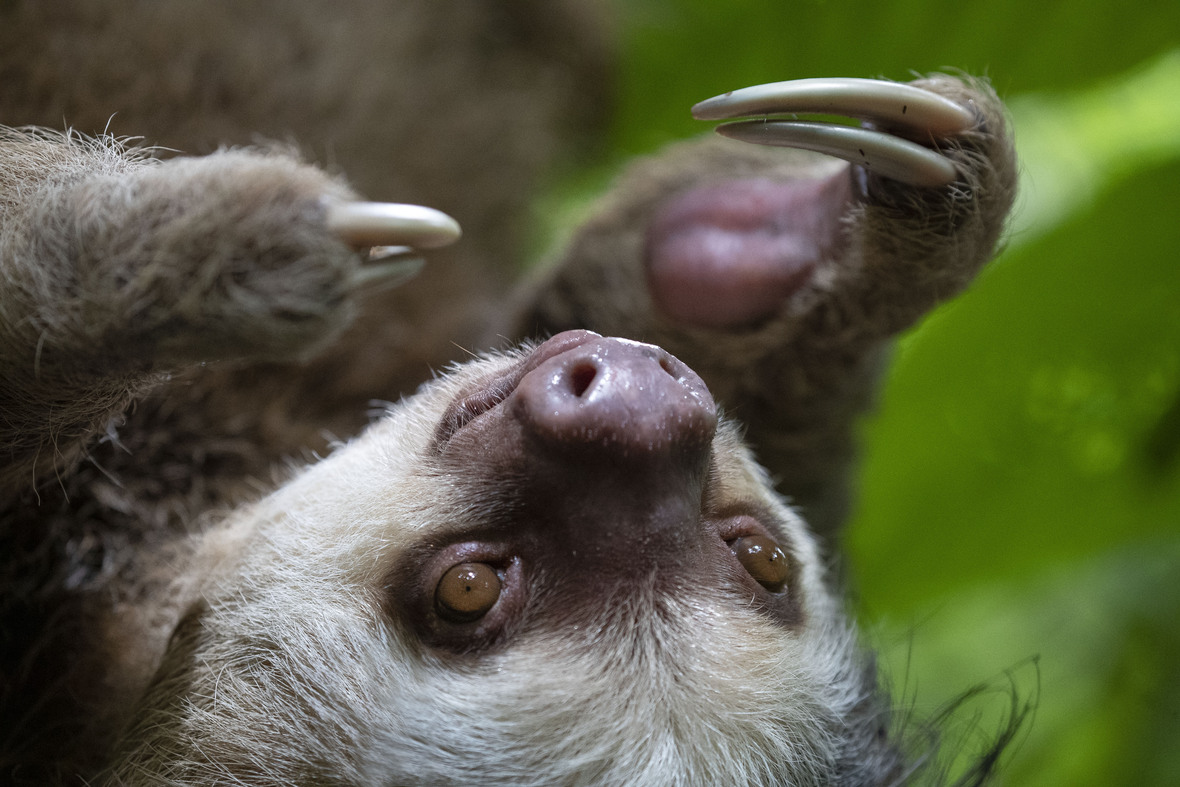 Close up shot of face and front hands of two-toed sloth