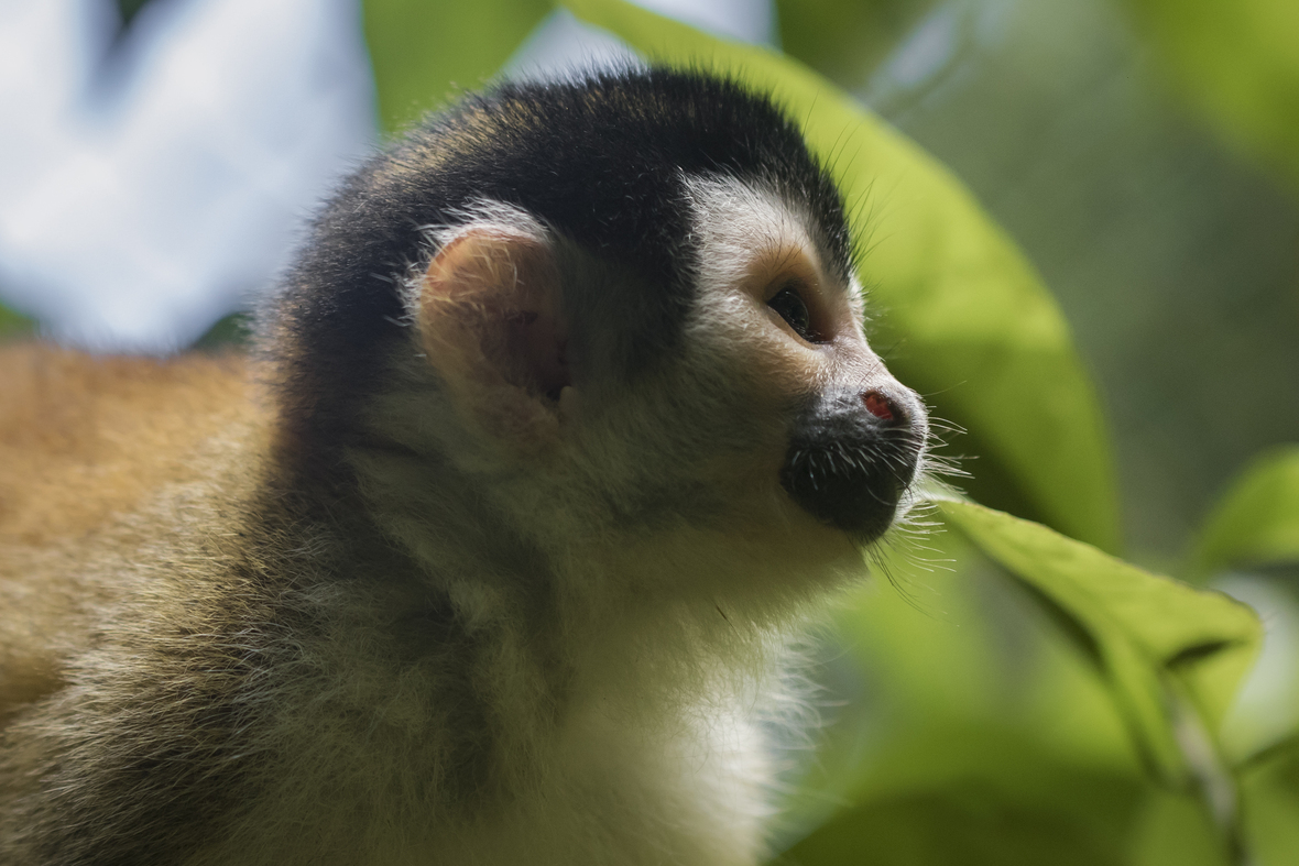 Side shot of head and shoulders of squirrel monkey
