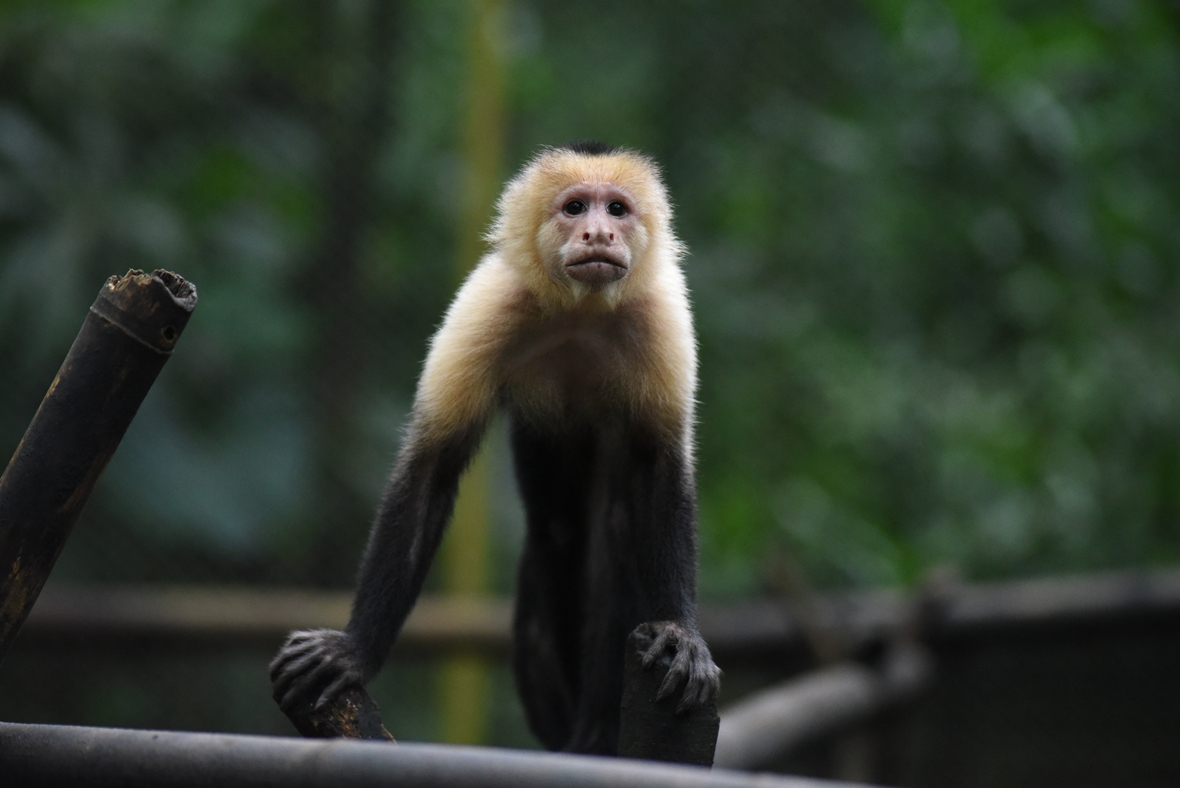 Front shot of male capuchin looking at camera