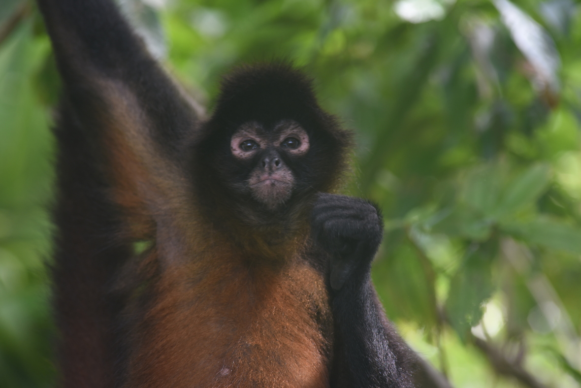 Spider monkey holding hand up and scrunching face