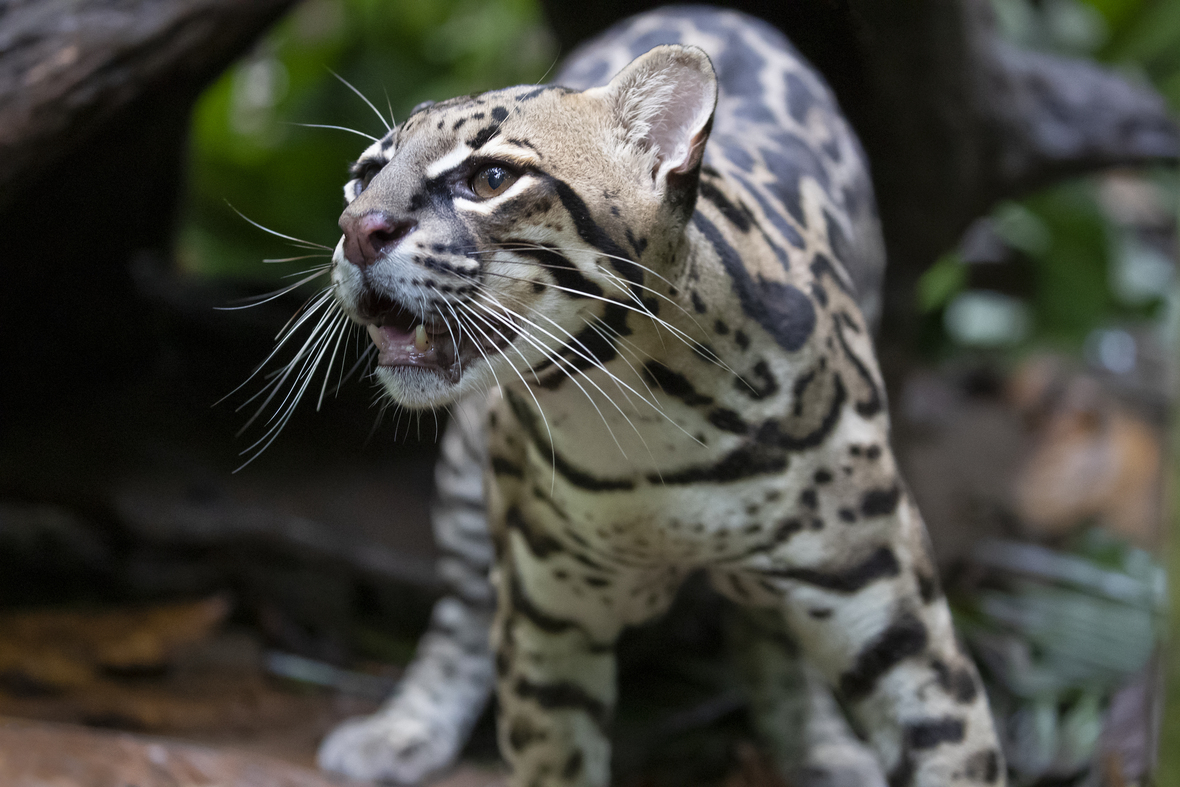 Front shot of ocelot looking off in distance with mouth open