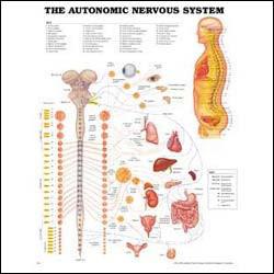 Chartautonomicnervous 1 large