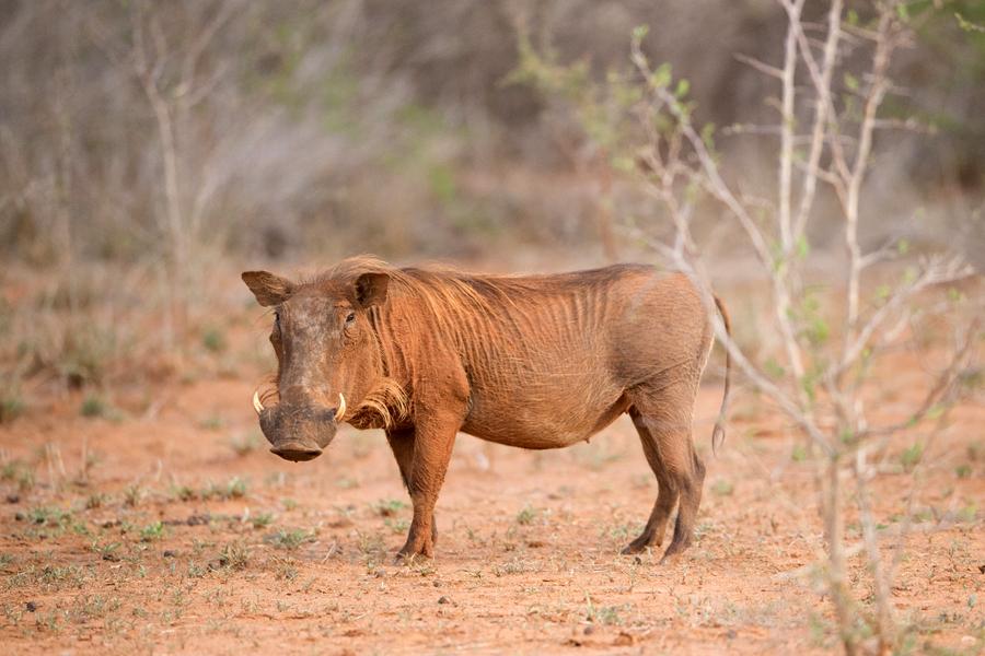 warthog dry