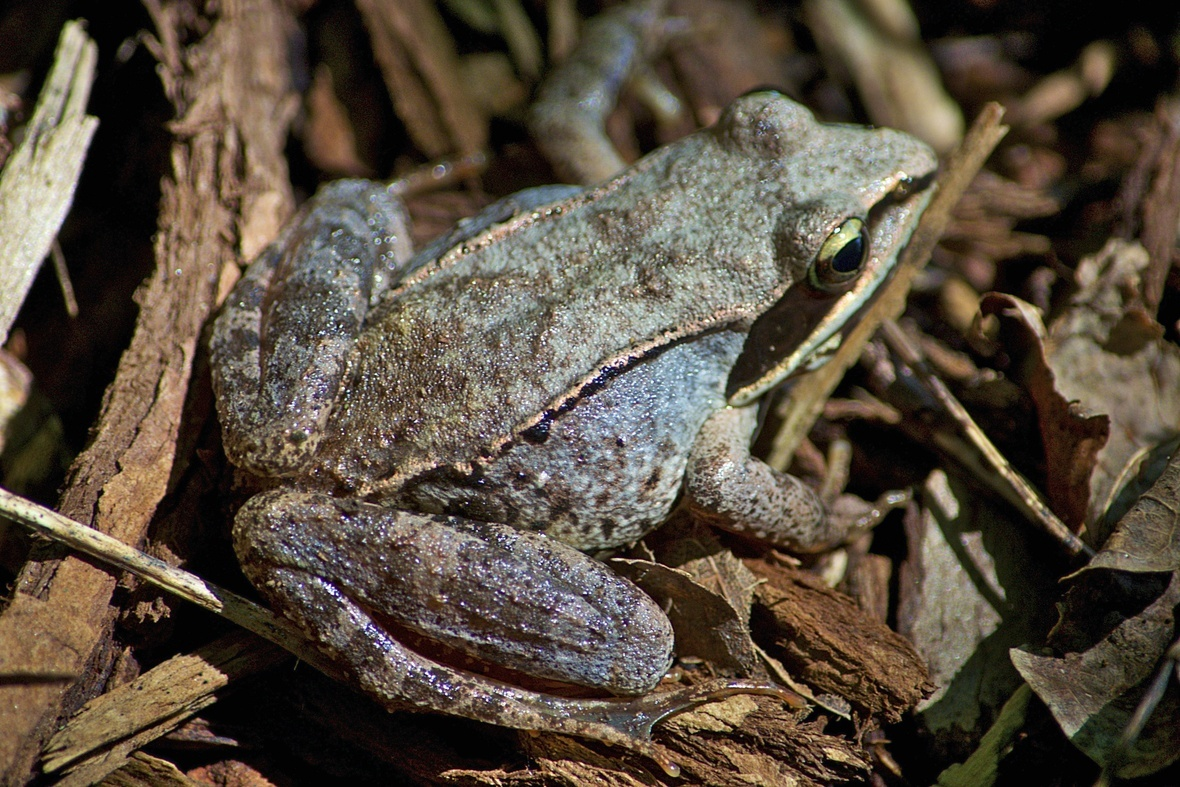 Wood Frog Rana sylvatica