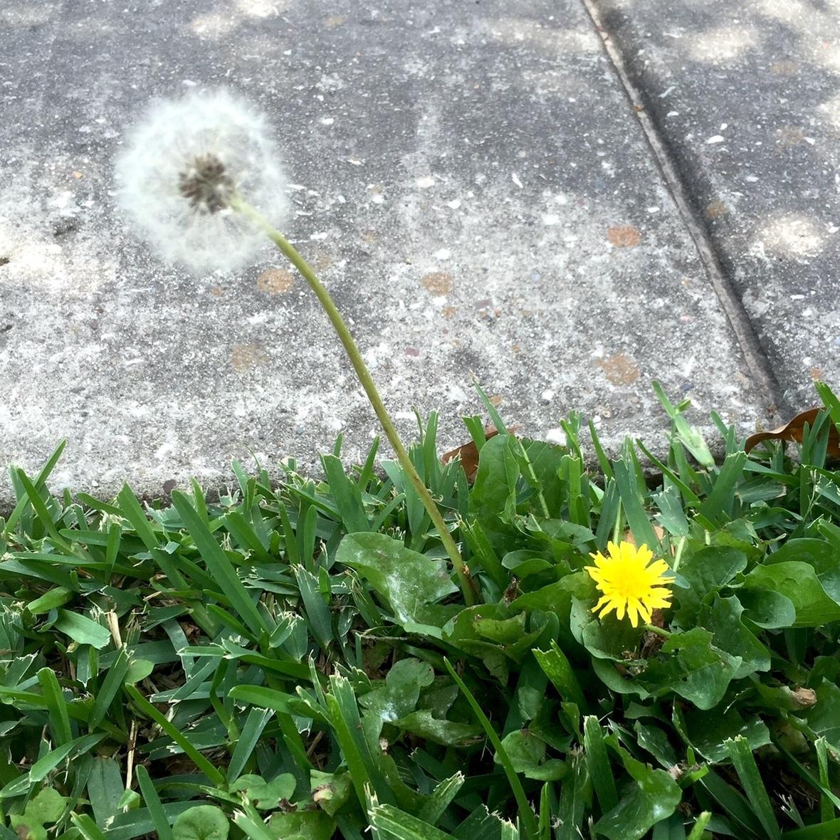 DandelionSeedsandFlower
