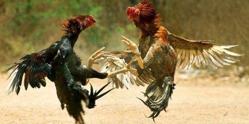 pelea gallos