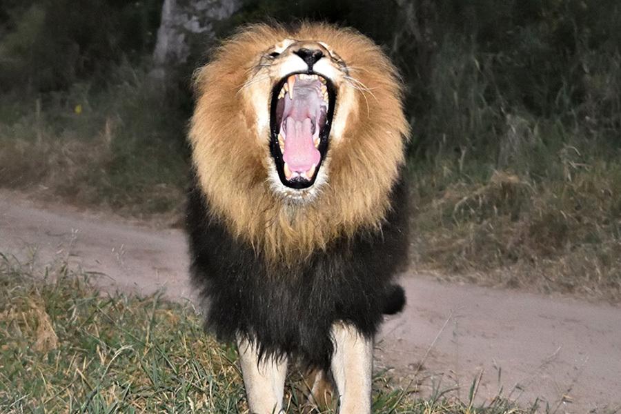 LION 1 DSC 0378