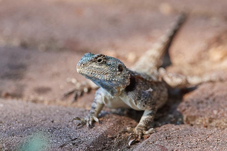 Suedafrika 2019 Reptilien usw DD5 3628
