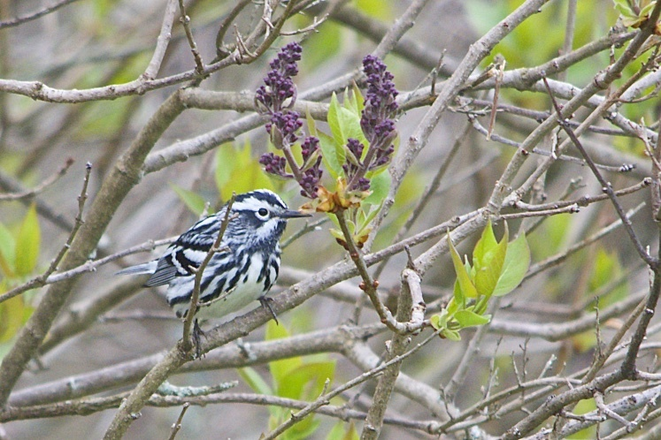 Black and White Warbler 1.5 MP