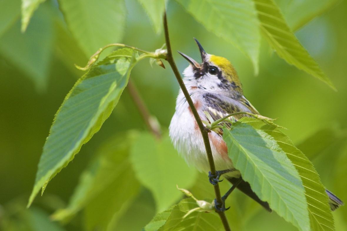 A Warbling Warbler