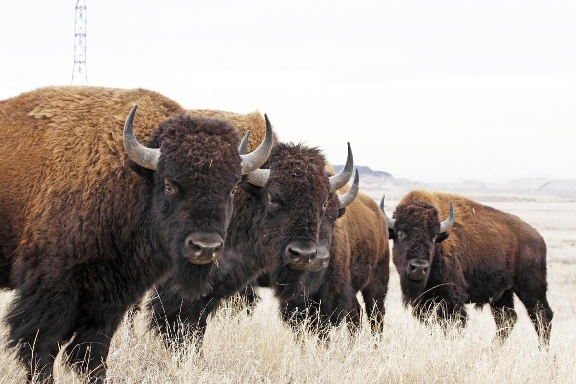 rocky mtn arsensal nwr john carr usfws bison