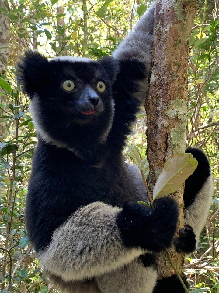 Madagascar Lemur Olsen