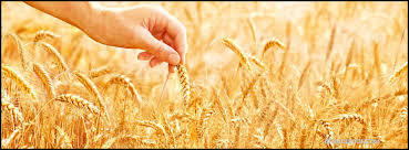 bannerwheat