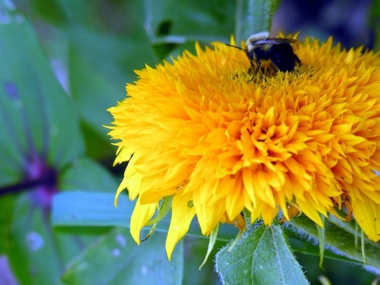 RL 9 9 06 bee on sunflower1590-554