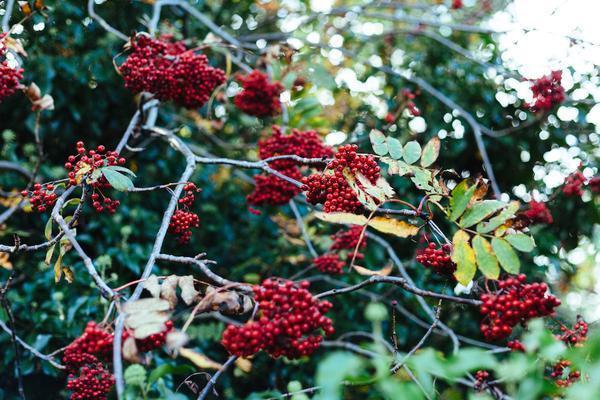 berries grande