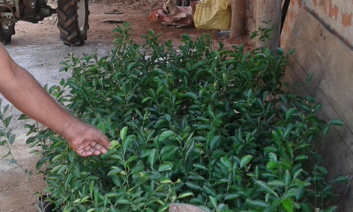 Orange plants given to Himbiliyakada