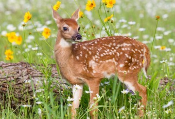 fawn-deer-272319 0