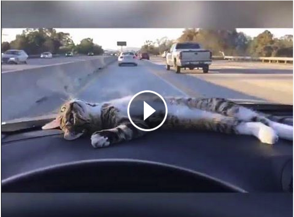 Cat on Dash