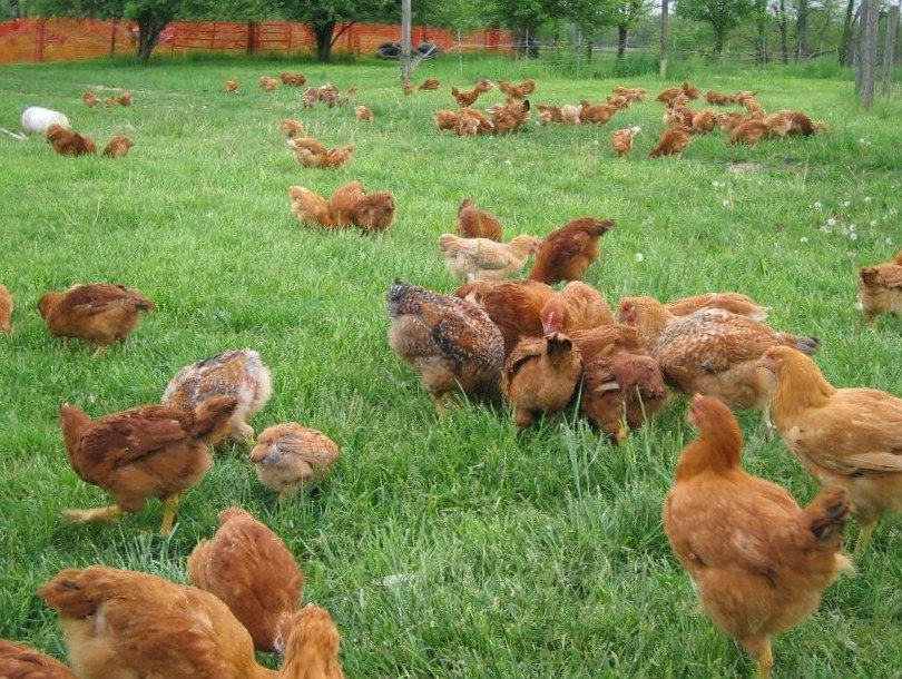 freedom rangers poultry club