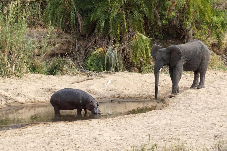 hippo ellie