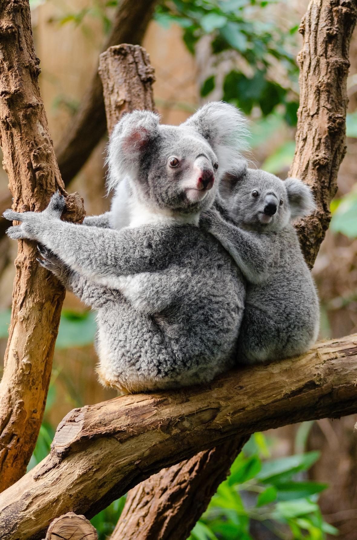 2-kuala-bears-on-brown-wood-tree-branch-146083