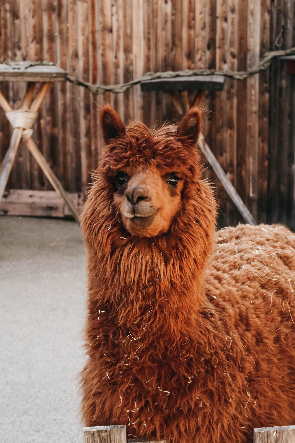 brown-llama-1575857