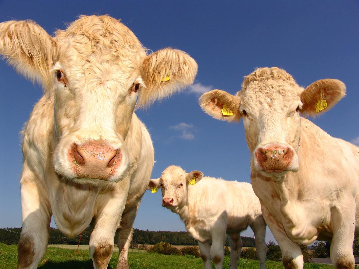 agriculture-cows-curious-pasture-33550