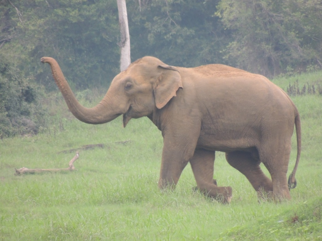 One of the bulls not in mush helping dominant bulls in musth-1