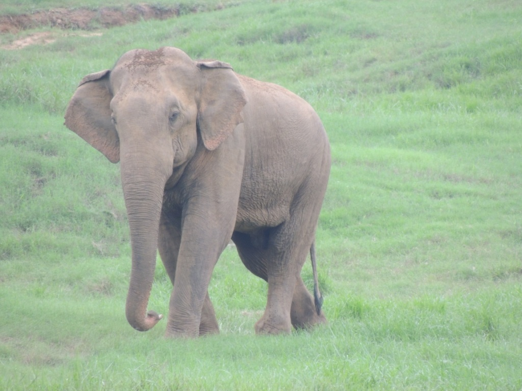 One of the bulls not in mush helping dominant bulls in musth-2