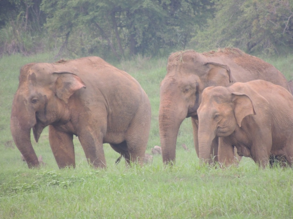 Other dominant bulls -Two- in musth
