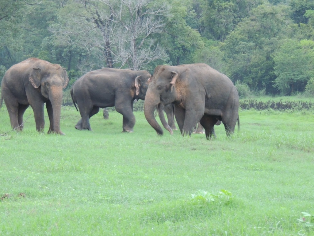 The dominant bull were blocked by a other musth bull with the help of other bulls