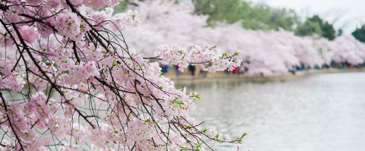 cherry-blossoms-dc