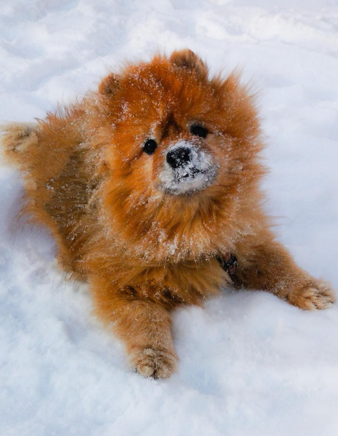 brown-pomeranian-lying-on-snow-3738516