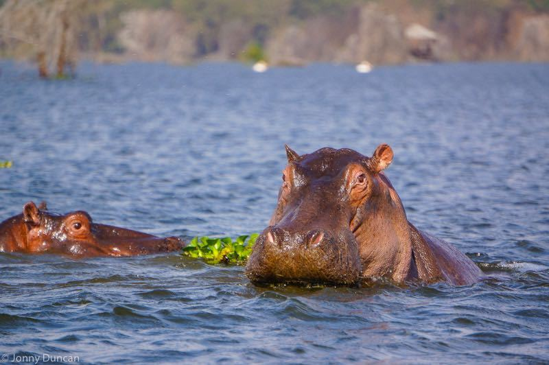hippos-naivasha