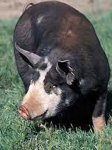 CHF pig