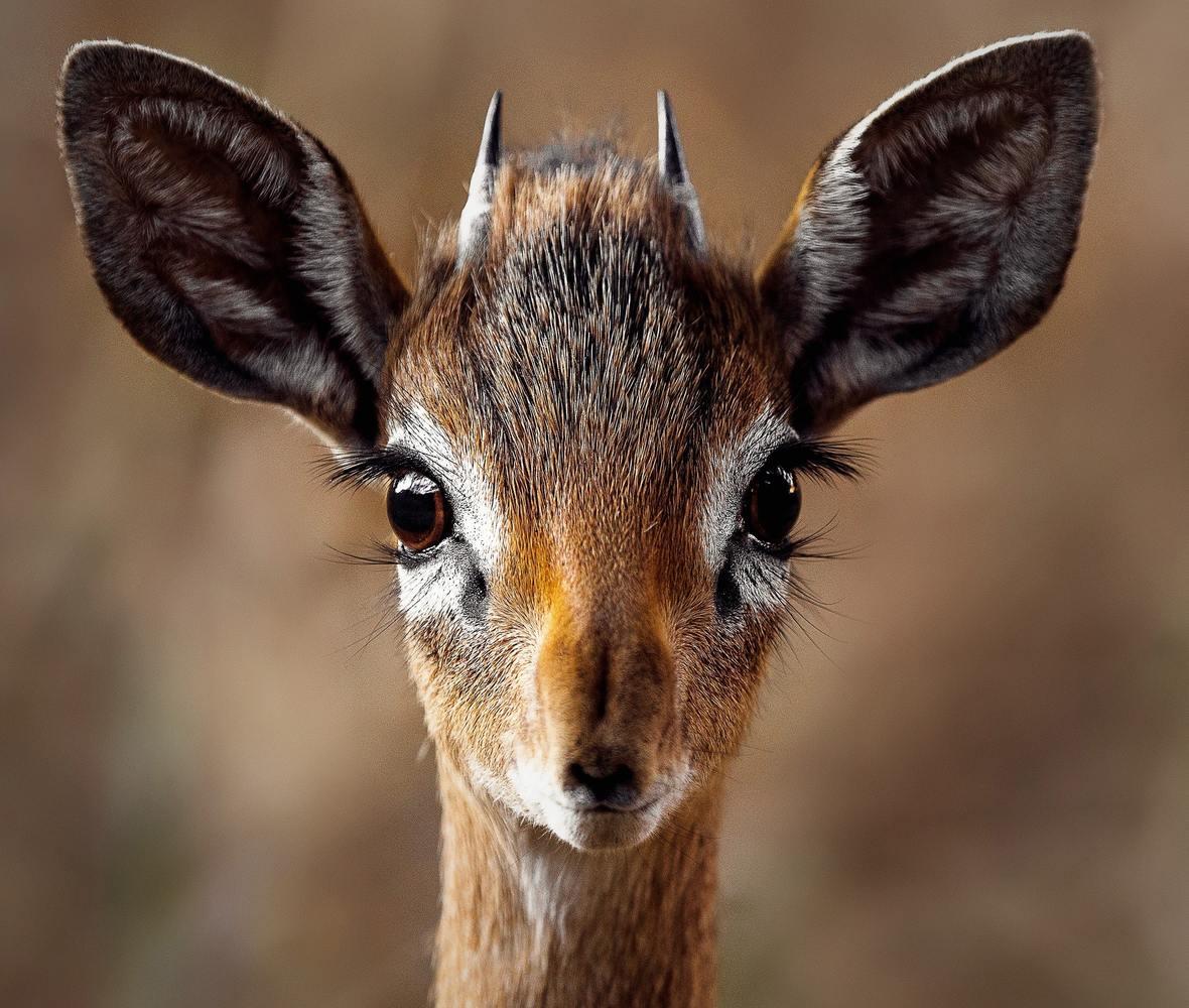 close-up-portrait-of-a-antelope-257558