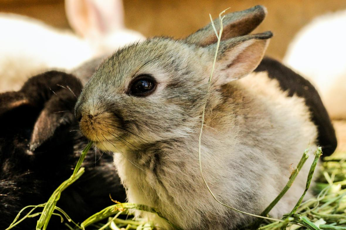 gray-rabbit-1461876