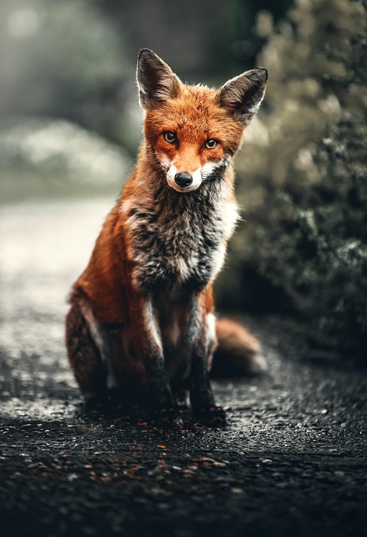 photo-of-fox-sitting-on-ground-2295744