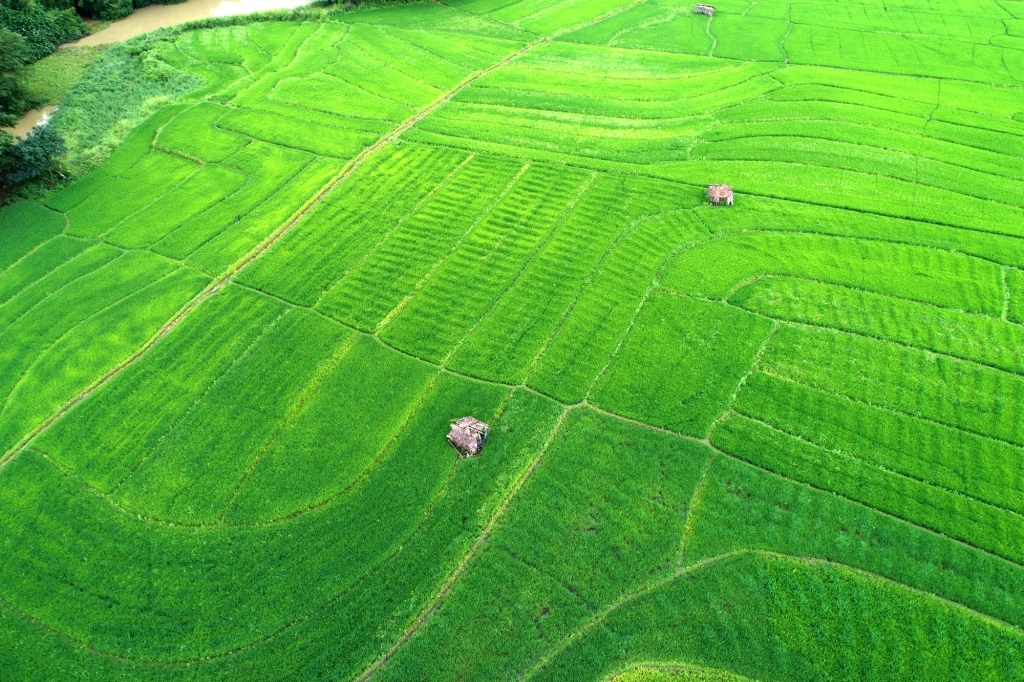 Rice Cultivations