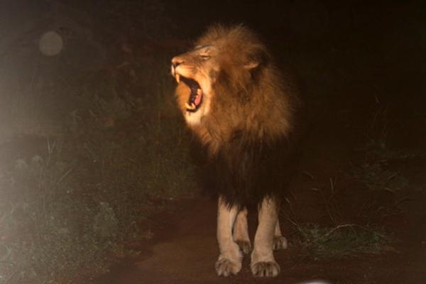 LION-ROAR