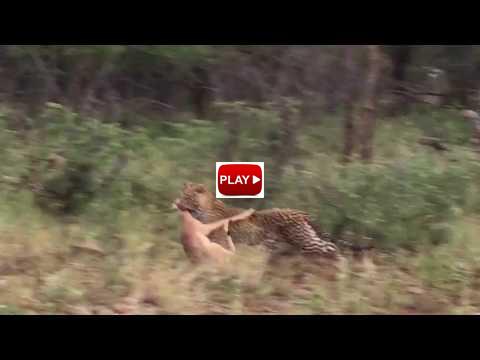 leopardkillvideo