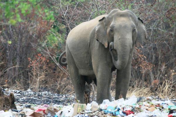 Elephant Eating Garbage